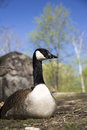 Portrait of canadian goose Royalty Free Stock Photo