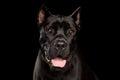 Portrait Cane Corso Dog on Black