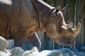 Portrait of captive Black Rhino Royalty Free Stock Photo