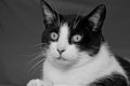Portrait of a cat black and whit domestic Stock Photos