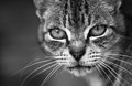 Portrait of cat in black and white Stock Image