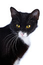 Portrait of a cat black and white cat cat with yellow eyes cat on a white background black cat house predator small predatory Stock Photos