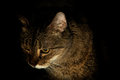 Portrait of a cat at night tabby is staring off to the side in this dark nighttime feline light is coming from right Royalty Free Stock Image