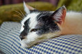 Portrait of a cat which rests but guard black and white macro Royalty Free Stock Image
