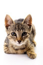 Portrait of a cat on white background Royalty Free Stock Photo