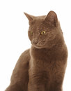 Portrait cat yellow eyes brown fur white background Stock Image