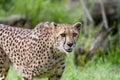 Portrait cheetah acinonyx jubatus beautiful young Royalty Free Stock Photo