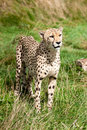 Portrait of Cheetah Standing in Long Grass Stock Photography