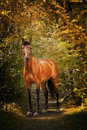 Portrait of chestnut horse Stock Photo