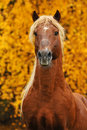 Portrait of chestnut horse in autumn Royalty Free Stock Photo