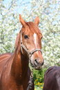 Portrait of chestnut horse in the blooming garden Royalty Free Stock Photos