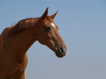Portrait of chestnut horse the ukrainian sport breed on a background blue sky Stock Image