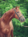 Portrait of chestnut trakehner stallion cloudy morning Stock Images