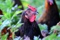 Portrait Chicken Grazing In Th...