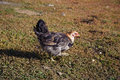 Portrait of a chicken poultry home beautiful bird walks the earth Stock Photos