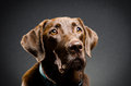 Portrait of a chocolate lab Royalty Free Stock Photo