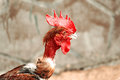Portrait of colorful Phoenix cockerel head [close-up] standing on traditional rural barnyard-on 21 JULY 2017. Royalty Free Stock Photo