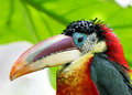 Portrait of colorful tropical rainforest bird Stock Image