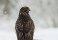 Portrait of Common Buzzard Buteo buteo in winter Royalty Free Stock Photo