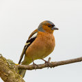 Portrait of common chaffinch fringilla coelebs sitting on a bird branch Stock Image