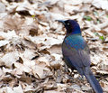 Portrait of Common Grackle Royalty Free Stock Photography
