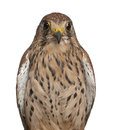 Portrait of Common Kestrel Stock Images
