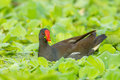 Portrait of common moorhen gallinula chloropus in nature Royalty Free Stock Photography