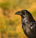 A portrait of a Common Raven Stock Image