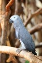 Portrait of an Congo African Grey Parrot (Psittacu Royalty Free Stock Photo