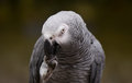 Portrait of an Congo African Grey Parrot Psittacus erithacus erithacus Royalty Free Stock Photo