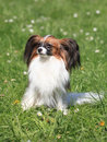Portrait continental toy spaniel summer garden Royalty Free Stock Images