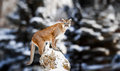 Portrait of a cougar, mountain lion, puma, panther Royalty Free Stock Photo