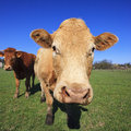 Portrait of cow cows on green grass and blue sky Stock Photo