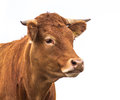 Portrait of a Cow Royalty Free Stock Photo
