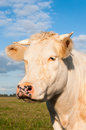 Portrait of a cream colored cow with horns Royalty Free Stock Image