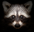 Portrait of a cunning raccoon closeup on black background Royalty Free Stock Photos