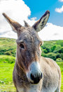 Portrait Of A Curious Donkey Royalty Free Stock Photo