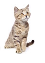 Portrait of a curious kitten scottish straight isolated on white background Royalty Free Stock Photo