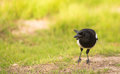 Portrait of a curious Magpie Royalty Free Stock Photo