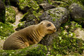 Portrait of cute brown baby sea lion in san leaning on a rock cristobal galapagos islands ecuador Stock Photography