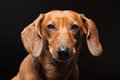 Portrait of cute brown dachshund dog isolated on black background Stock Photos