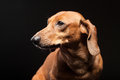 Portrait of cute brown dachshund dog isolated on black background Royalty Free Stock Images