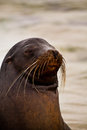 Portrait of cute brown sea lion in san cristobal closeup ortrait with eyes closed galapagos islands ecuador Royalty Free Stock Images