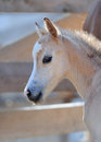Portrait of a cute foal Royalty Free Stock Photo