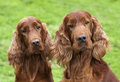 Portrait of cute irish setter pair curious looking at the camera Stock Images