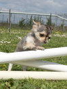 Portrait of a cute puppy chihuahua in a training of agility Royalty Free Stock Photos