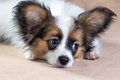 Portrait of a cute puppy papillon little on light brown background Royalty Free Stock Image