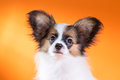 Portrait of a cute puppy papillon on orange background Stock Photography
