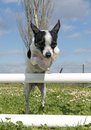 Portrait of a cute purebred chihuahua in a training of agility Stock Photos