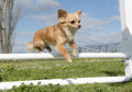 Portrait of a cute purebred chihuahua in a training of agility Royalty Free Stock Image